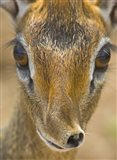 Head of a Kirk's dik-dik, Tarangire National Park, Tanzania