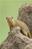 Side profile of a Dwarf mongoose, Tarangire National Park, Arusha Region, Tanzania (Helogale parvula)