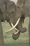 Two African elephants, Arusha Region, Tanzania