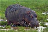 Close-up of a hippopotamus, Lake Manyara, Arusha Region, Tanzania (Hippopotamus amphibius)