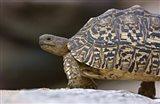 Close-up of a Leopard tortoise, Tarangire National Park, Arusha Region, Tanzania (Geochelone pardalis)