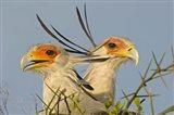 Close-up of two Secretary birds, Ngorongoro Conservation Area, Arusha Region, Tanzania (Sagittarius serpentarius)