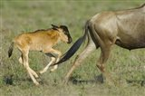 Side profile of a wildebeest and its calf running in a field, Ngorongoro Conservation Area, Arusha Region, Tanzania