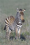 Young zebra standing in a field