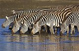Herd of zebras drinking water, Ngorongoro Conservation Area, Arusha Region, Tanzania (Equus burchelli chapmani)