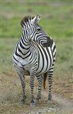 Zebra standing in a field, Ngorongoro Conservation Area, Arusha Region, Tanzania (Equus burchelli chapmani)