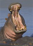 Close-up of a Hippopotamus, Lake Manyara, Arusha Region, Tanzania