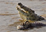 Nile crocodile with a dead wildebeest in a river, Masai Mara National Reserve, Kenya (Crocodylus niloticus)
