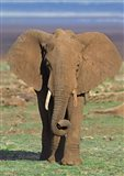 Close-up of an African elephant walking in a field, Lake Manyara, Arusha Region, Tanzania (Loxodonta Africana)