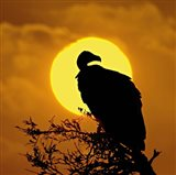 Silhouette of a vulture perching on a branch, Masai Mara National Reserve, Kenya