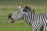 Side profile of a zebra braying, Ngorongoro Conservation Area, Arusha Region, Tanzania (Equus burchelli chapmani)
