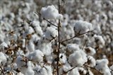 Cotton Plants, Wellington, Texas