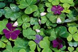 Wood Sorrel Plants