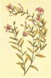 Broad Leaved Fireweed