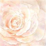 Blush Rose Closeup I