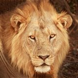 Lion Up Close