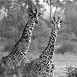 A Pair of Giraffes