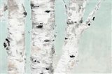 Birch Tree Close Up