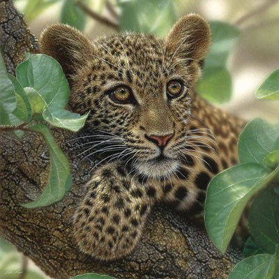 Leopard Cub - Tree Hugger Poster by Collin Bogle for $48.75 CAD