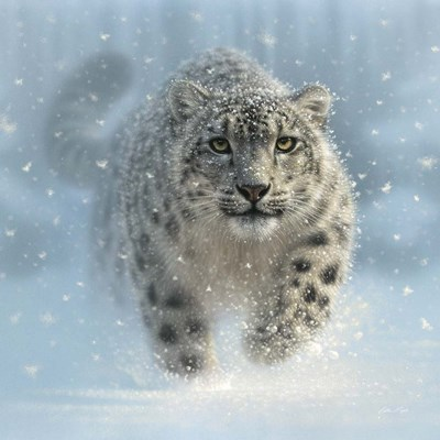 Snow Leopard - Snow Ghost Poster by Collin Bogle for $48.75 CAD