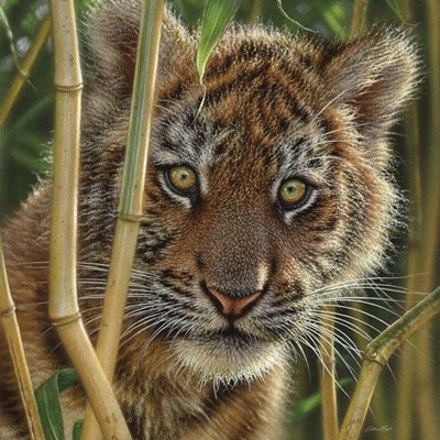 Tiger Cub - Discovery Poster by Collin Bogle for $48.75 CAD
