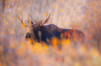 Autumn Bull Poster by Gary Crandall for $61.25 CAD