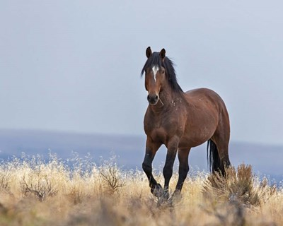 Cherokee - S Steens Wild Stallion Poster by Larry McFerrin for $56.25 CAD