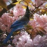 Steller's Blossoms