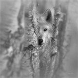 Wolf - Focused - B&W