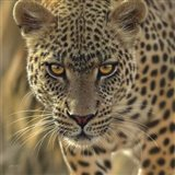 Leopard - On the Prowl - Square