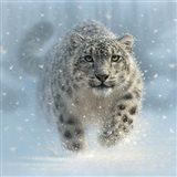 Snow Leopard - Snow Ghost