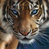 Tiger - Blue Eyes