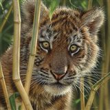 Tiger Cub - Discovery