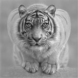 White Tiger - Wild Intentions - B&W