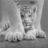 White Tiger Cub - Sheltered - B&W