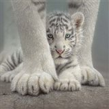 White Tiger Cub - Sheltered