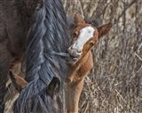 Ochoco Wild Foal - Big Summit HMA