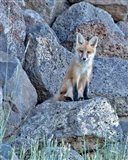 Red Fox Kit II