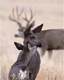Dark Mule Deer Doe