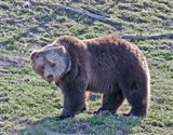 Grizzly Bear Boar II