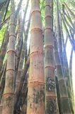 Bamboo Grove Sunburst