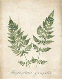 Vintage Ferns VII no Border