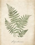Vintage Ferns IX no Border