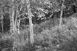Sunlit Birches I