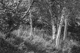 Sunlit Birches II
