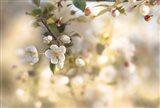 Blush Blossoms I Pastel