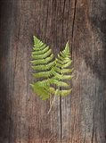 Woodland Fern II