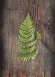 Woodland Fern IV