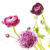 Spring Ranunculus II