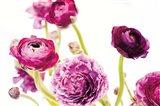 Spring Ranunculus IV